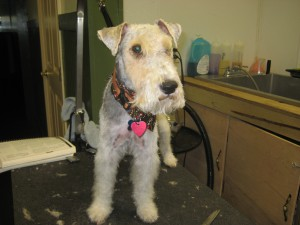 Pat - wire fox terrier